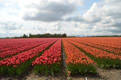 Noordoostpolder, Paesi Bassi, campo dei tulipani fotografia stock libera da diritti