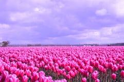 Noordoostpolder, Paesi Bassi, campo dei tulipani fotografia stock