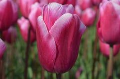 Noordoostpolder, Paesi Bassi, campo dei tulipani immagine stock libera da diritti