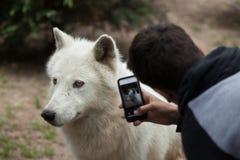 Noordpool de wolfszweerarctos van wolfscanis stock foto's
