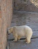 Noordpool draag Stock Foto's