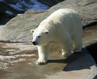 Noordpool Noordpool Noordpool het Noorden rood boek van het ijsbeer polair roofdierzoogdier royalty-vrije stock foto