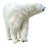 Noordpool ijsbeer, Ursus-maritimus Stock Foto's