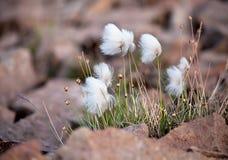 Noordpool katoenen gras Stock Foto