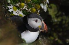 Noordpool Papegaaiduiker, IJsland Royalty-vrije Stock Foto's