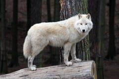 Noordpool witte wolf Royalty-vrije Stock Foto
