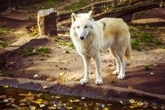 Noordpool Witte Wolf Canis-wolfszweerarctos die de camera op een dalingsdag bekijken royalty-vrije stock foto's