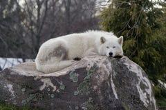 Noordpool wolf Royalty-vrije Stock Foto