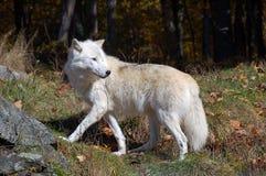 Noordpool Wolf Royalty-vrije Stock Afbeelding
