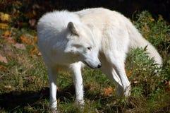 Noordpool Wolf royalty-vrije stock afbeeldingen