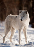 Noordpool Wolf Royalty-vrije Stock Fotografie
