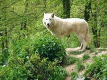 Noordpoolwolf royalty-vrije stock afbeelding