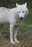 Noordpool wolf - Canis wolfszweerarcto stock foto's