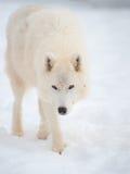 Noordpool wolf (Canis wolfszweerarctos) in sneeuw. Royalty-vrije Stock Afbeelding