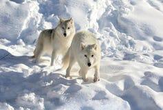 Noordpool Wolf in de Sneeuw die Camera bekijkt stock afbeeldingen