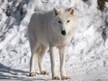 Noordpool wolf in de winter Royalty-vrije Stock Fotografie