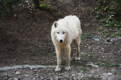 Noordpool wolf die camera bekijkt Stock Foto's