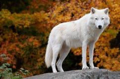 Noordpool Wolf die de Camera op een Dag van de Daling bekijkt Stock Fotografie