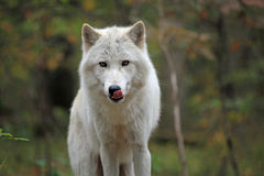 Noordpool wolf die zijn karbonades likt Stock Foto's