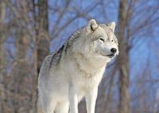 Noordpool wolf op rots Royalty-vrije Stock Foto's