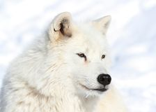 Noordpool wolf tijdens de winter Stock Fotografie