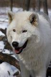 Noordpool Wolf VI Royalty-vrije Stock Afbeeldingen