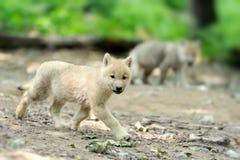 Noordpool wolfspuppy Royalty-vrije Stock Fotografie
