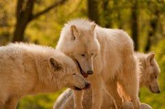 Noordpool wolven Royalty-vrije Stock Afbeeldingen