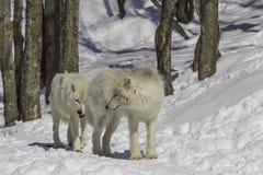 Noordpool Wolven Royalty-vrije Stock Foto