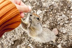 Noordpoolgrondeekhoorn die om voedsel van menselijke handen vragen Het Schiereiland van Kamchatka, Rusland royalty-vrije stock fotografie
