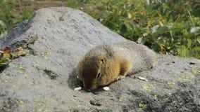 Noordpoolgrondeekhoorn die zaden op rots eten kamchatka stock video