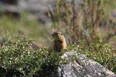 Noordpoolgrondeekhoorn (Urocitellus-parryii) Royalty-vrije Stock Afbeeldingen