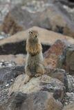 Noordpoolgrondeekhoorn (Urocitellus-parryii) Royalty-vrije Stock Fotografie