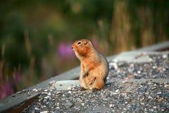 Noordpoolgrondeekhoorns Stock Afbeelding