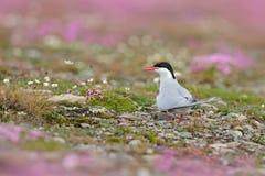 Noordpoolstern, Borstbeenderenparadisaea, witte vogel met zwart GLB, met Noordpoollandschap op achtergrond, Svalbard, Noorwegen H royalty-vrije stock fotografie