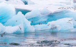 Noordpoolstern die (Borstbeenderenparadisaea) in Ijzige Jokulsarlon vissen, Stock Afbeeldingen