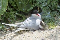 Noordpoolstern met kuiken op nest royalty-vrije stock foto's