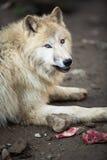Noordpoolwolf Stock Afbeeldingen