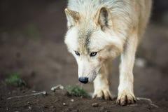 Noordpoolwolf Stock Afbeelding