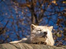 Noordpoolwolf die een Sunbath nemen Stock Foto