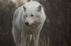 Noordpoolwolf looking to right royalty-vrije stock afbeelding