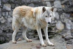 Noordpoolwolf of polair wit wolfsportret royalty-vrije stock afbeeldingen