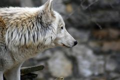 Noordpoolwolf of polair wit wolfsportret stock foto's