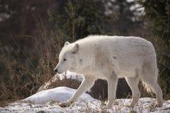 Noordpoolwolf walking in the snow royalty-vrije stock afbeeldingen
