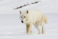 Noordpoolwolf walking in snow stock afbeelding