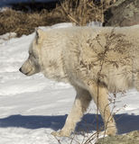Noordpoolwolf walking in the snow stock foto's