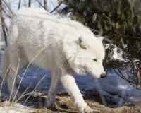 Noordpoolwolf walking through the trees royalty-vrije stock fotografie