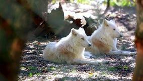 Noordpoolwolfspaar stock videobeelden