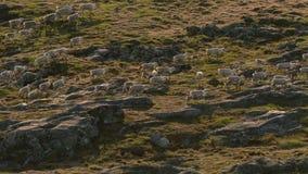Noordpoolwolven, de wolfslooppas bij de kudde, proberend om zwakke of langzaam uit te spoelen Noord-Canada stock afbeeldingen