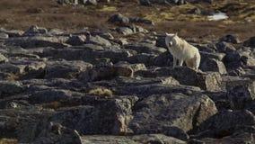 Noordpoolwolven, de wolfslooppas bij de kudde, proberend om zwakke of langzaam uit te spoelen Noord-Canada stock afbeelding